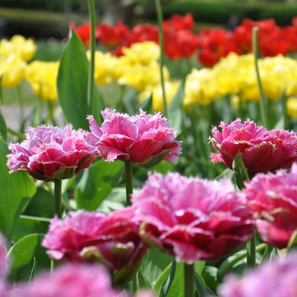 Tulipanowe szaleństwo